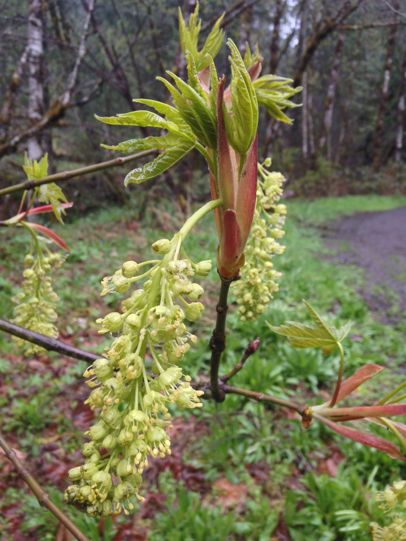 plant 4-15-18 Acer macrophylla, Bigleaf maple north umpqua trail (9)
