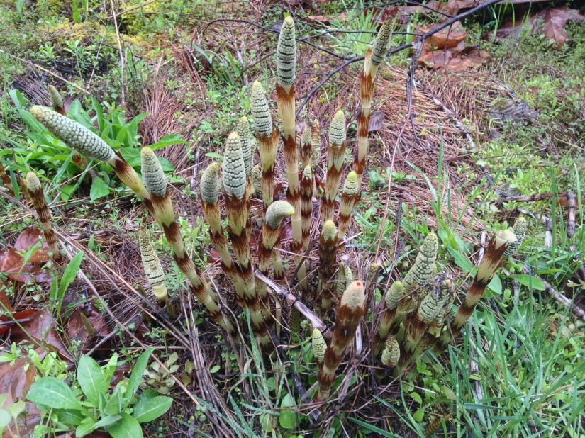 plant 4-15-18 Equisetum north umpqua trail (8)