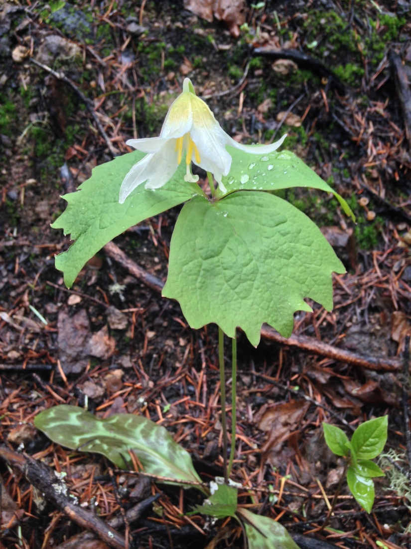 plant 4-15-18 north umpqua trail (55)
