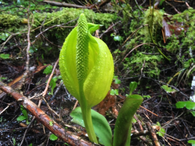 plant 4-15-18 skunk cabbage toketee falls trail (1)