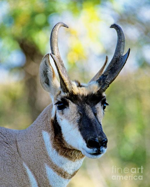 Male Pronghorn Reference (1)